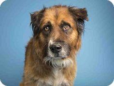 Phoenix, AZ - Australian Shepherd Mix. Meet RUSTY, a dog for adoption. http://www.adoptapet.com/pet/17027354-phoenix-arizona-australian-shepherd-mix