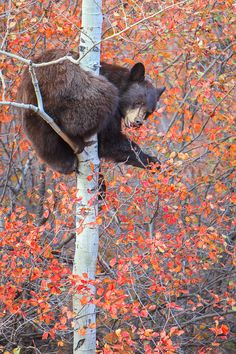 I like how this bear is just climbin' a mutherfriggin tree, like, you aint safe from bears main.