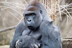 Gorilla Harambe 1999-2016