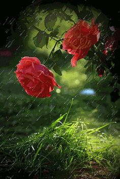 Beautiful Flowers Pictures, Beautiful Gif, Beautiful Roses, Roses Gif, Flowers Gif, Rain Wallpapers, Moving Wallpapers, Rainy Day Pictures, Lion Live Wallpaper