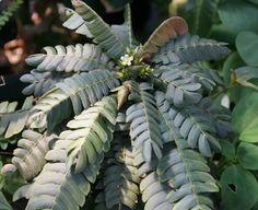 Terrarium - Silver Biophytum sp. by Blackjungle.