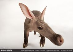 Aardvark (Orycteropus afer) by Joel Sartore