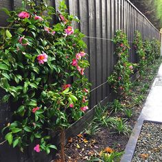 New camellia sasanqua espaliers In with liriope muscari used as an underplant! Garden designed by @ginkgoparadise