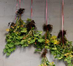Saving your geraniums