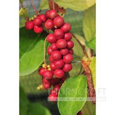 Afbeeldingsresultaat voor schisandra chinensis