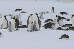 The Emperor penguins of Snow Hill Island, Weddell Sea, Antarctica. Cute Penguins, Antarctica, Emperor Penguins, Marine Life, Sea Creatures, Underwater, Wildlife, Snow, Island