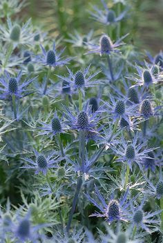 sea holly 'big blue' Had these in my front garden in my other house I sold,  going to have to get more, they are striking in the garden.