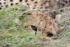 The watchful cheetah. Natural History Museum photography of the year 2014 exhibit.