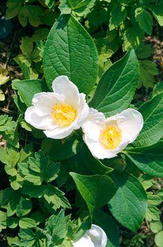 Stewartia pseudocamellia AGM / RHS Gardening  Deciduous shrub, up to 12m, autumn colour, white els  Burncoose