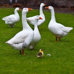 I love too see a backyard on a farm full of geese! Farm Animals, Animals And Pets, Cute Animals, Country Farm, Country Life, Country Living, Farms Living, Down On The Farm, Tier Fotos