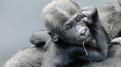 Brookfield Zoo - Baby Gorilla