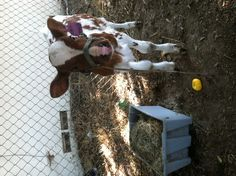Baby cows <3 Sweet Cow, I Want A Baby, Baby Cows, Youre Cute, Small Farm, Cattle, Animals Beautiful, Little Ones, Calves