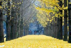 Nami Island, South Korea. Where the k-drama, Winter Sonata, was filmed. Go in winter/fall.
