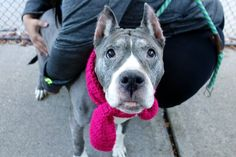 Still listed. Nov..12,2016. OWNER SICK!! SUPER URGENT Manhattan Center GINA – A1095927 ***SAFER : AVERAGE HOME*** SPAYED FEMALE, GRAY / WHITE, AMERICAN STAFF MIX, 12 yrs OWNER SUR – EVALUATE, NO HOLD Reason OWNER SICK Intake condition UNSPECIFIE Intake Date 11/05/2016, From NY 10034, DueOut Date 11/05/2016,