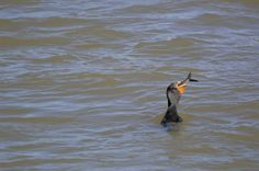 The gangly Double-crested Cormorant is a prehistoric-looking, matte-black fishing bird with yellow-orange facial skin.