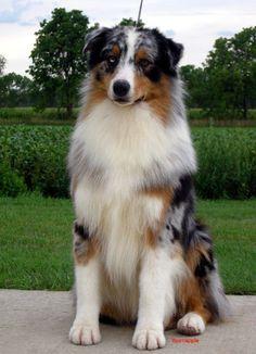 My dog <3 An Australian Shepherd from Thornapple Kennels *sighs wistfully* Someday!