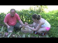 Cosecha de las cebollas ( tuhuertofacil.es )