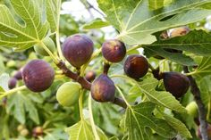These are the easiest grow-your-own fruits. They don't require grafting, and are easily propagated in quantity for your very own backyard food forest garden.