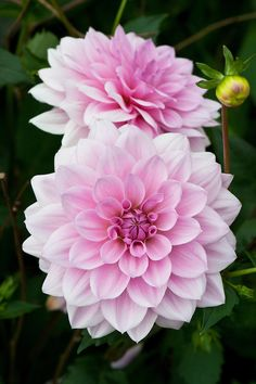 Dahlia 'Pearl of Heemstede'                                                                                                                                                                                 More