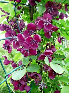 Chocolate Vine (Akebia quinata) A semi-evergreen, trailing climber with scented purple-maroon flowers in the spring, which are often followed by very unusual, elongated purple fruits during a long, hot summer.
