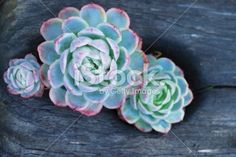 'Hens and Chicks' Succulent Royalty Free Stock Photo