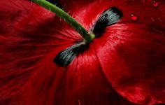 Mandy Disher Papaver Passion Canvas Art - 27 x Close Up Photography, Floral Photography, Macro Photography, Passion Photography, Foto Macro, Fotografia Macro, Rose Photos, Red Poppies, Diy Flowers