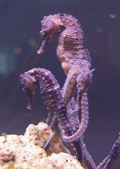 sea horses-such interesting animals! Underwater Creatures, Underwater Life, Ocean Creatures, Beneath The Sea, Under The Sea, Vida Animal, Fauna Marina, Water Animals, Sea Dragon