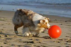 Herding ball  Planet Blue Dog - INDESTRUCTIBLE DOG BALL