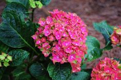 for Your Garden These aren't your grandmother's hydrangeas. Get your hands on one of these colorful varieties of the classic shrub.These aren't your grandmother's hydrangeas. Get your hands on one of these colorful varieties of the classic shrub. Types Of Hydrangeas, Hydrangea Varieties, Hydrangea Colors, Hydrangea Care, Hydrangea Not Blooming, Garden Shrubs, Flowering Shrubs, Trees And Shrubs, Garden Show