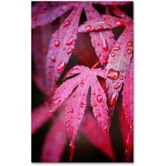 Trademark Fine Art Red Maple Leaves Canvas Art by Philippe Sainte-Laudy, Size: 16 x 24, Multicolor