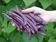 "Growing Purple Podded Pole Beans - This delicious heirloom was discovered in the Ozark mountains by Henry Fields in the and is still requested by many ""Old Timers"" Green Beans, Beans Vegetable, Vegetable Garden, Vegetable Platters, Bean Plant, Bush Beans, Beans Beans, Bean Seeds, Gardens"