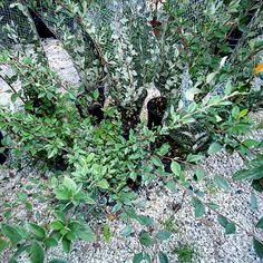 #Piante #Cotoneaster Lacteus - Spedizione Gratuita da € 50 - via @europlantsvivai