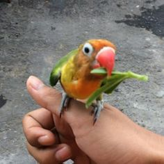 I thought i saw a tweety bird  affuwu #Featured #Shuttographer #StaffPick #bird #parrot #beautiful #colors  Let your inner animal out Who doesn't love animals? Everybody does! For a chance to win a Moment Tele-Lens Kit – the best smartphone tele-lens available on the market today – in this mission we ask you to capture the animal world around us. #AnimalLovers #ShuttaMission #ShuttaAnimals #ShuttaPets #wildlife #farmlife #pets #MomentLens #TeleLens