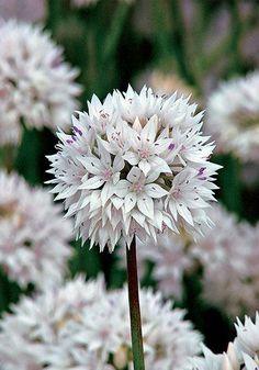 amplectens Graceful Beauty Bulbs   Allium Bulbs amplectens Graceful Beauty   Buy Allium Flower Bulbs Online   Bloms Bulbs UK An Award Winning Supplier