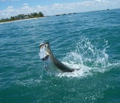Old Salt Photo of the Week Submission - Tarpon: Jose Borrego #2