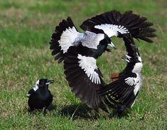 Australian magpies having a little spat.
