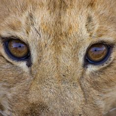 Andy Biggs @theglobalphotographer Instagram profile - Mulpix | 'A lion cub takes a break from feeding to look into my lens'