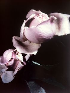 DAVID SIMS, ROSES 2003: published in visionaire 40, a hardcover edition of 3000 copies.
