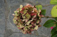 Trockenblumen sind immer sehr dekorativ - Hortensien mit ihren schönen Blüten eignen sich dafür besonders gut. Hier erfahren Sie, wie es geht.