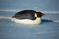 an Emperor penguin laying down to sleep lol