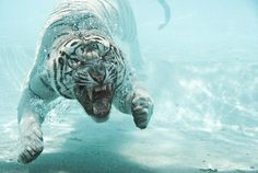 by yaghmorasen nass on YouPic Big Cats, Cool Cats, Year Of The Tiger, Tiger Year, Tiger Love, Underwater Photos, Amazing Pics, Awesome, Beautiful Cats