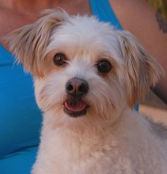 Andy is a delightful young Malti-Poo (Maltese & Poodle) ready for adoption today at Nevada SPCA (www.nevadaspca.org). He is 2 years of age, neutered, and good with other dogs. Andy became homeless because he does not like being around young children. He enjoys playing fetch and bonding with gentle people.