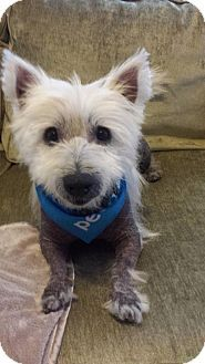 New Orleans, LA - Westie, West Highland White Terrier. Meet Babar, a dog for adoption. http://www.adoptapet.com/pet/13026840-new-orleans-louisiana-westie-west-highland-white-terrier