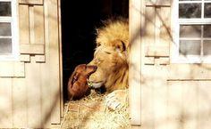 Zo bijzonder: Deze enorme leeuw en teckel zijn al 5 jaar de grootste vriendjes