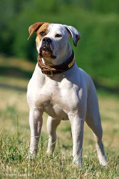American Bulldog. the Johnson type but not too bully lookin but still with that block head I like that's what I want