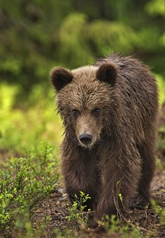 Eurasian Brown Bear Cub
