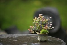 super mini bonsai