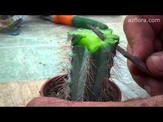 Grafting cactus - YouTube Growing Succulents, Cacti And Succulents, Planting Succulents, Cactus Plants, Planting Flowers, Bonsai, Propagating Cactus, Grafting Plants, Grafted Cactus