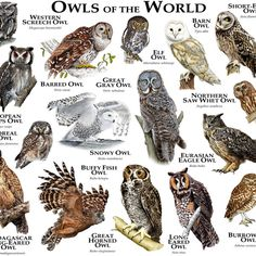 Owls of the World by rogerdhall (print image)