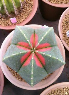 Astrophytum myriostigma cv kohyo